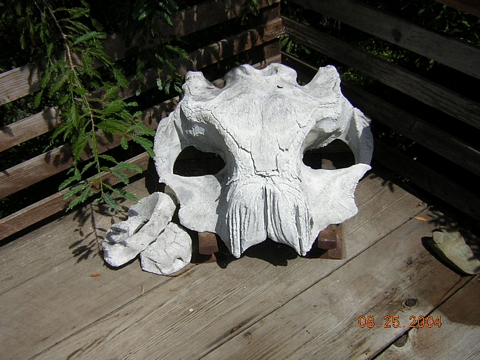 Baby Whale Skull